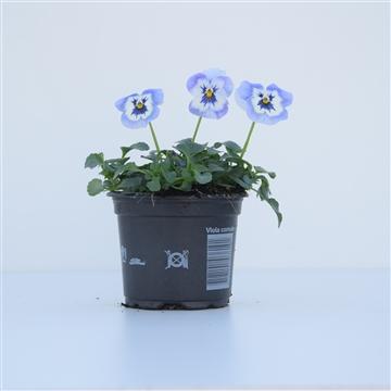 Viola Cornuta Light Marina / Blauw en wit