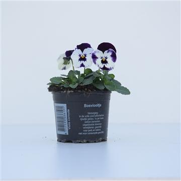 Viola Cornuta Mickey / Donkerpaars met wit