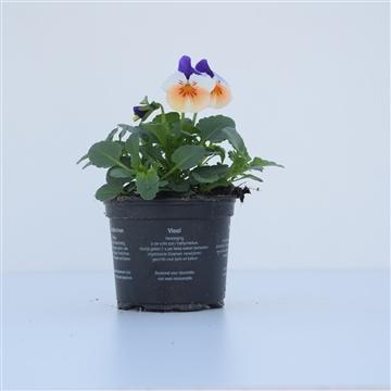 Viola Cornuta Peach Jump / Wit met blauw/oranje