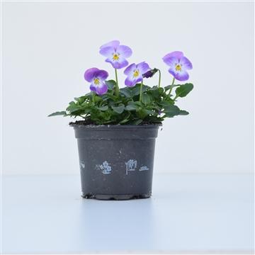 Viola Cornuta Lavender / Lila