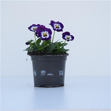 Viola Cornuta Purple with face / Paars met wit