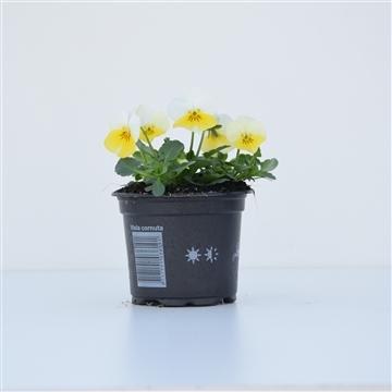 Viola Cornuta Sunny Side up / Geel met wit