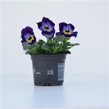Viola Cornuta Violet Blue / Blauw met paars