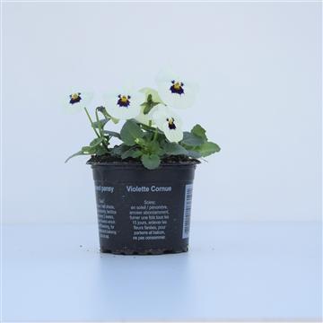 Viola Cornuta White with Blotch / Wit met oog
