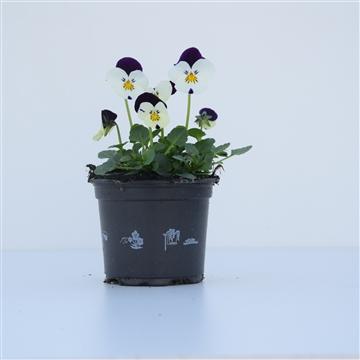 Viola Cornuta White Purple wing / Wit met paars