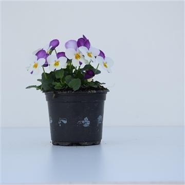 Viola Cornuta White with Rose wing / Wit met lila
