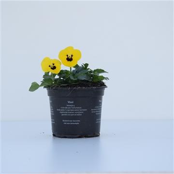 Viola Yellow with Blotch / Geel met oog
