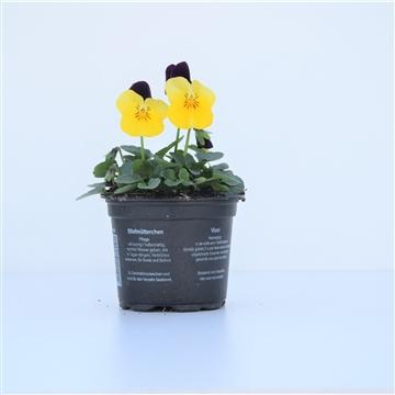 Viola Yellow with purple wing / Geel met paars