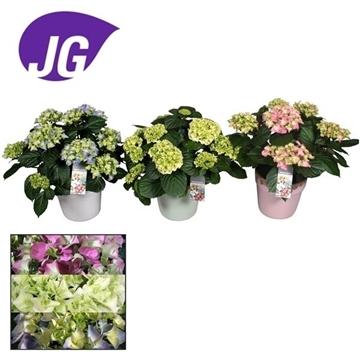 Hydrangea gemengd 10  flowers in pot Milou