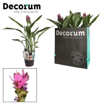 Curcuma Siam Shadow roze