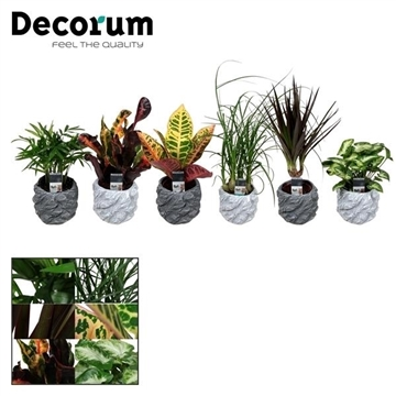 Keen on Green mix 7 cm in pot Roxy (Decorum)