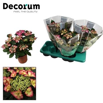 Hydrangea Tiffany 7/8 bloem