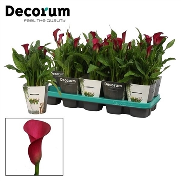 Zantedeschia Flirt in Potcover (Decorum)