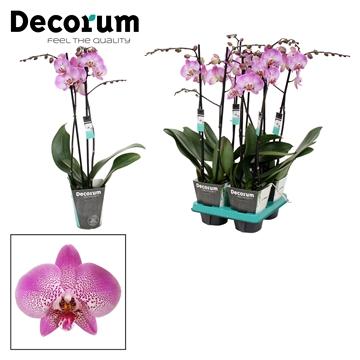 Phalaenopsis 2-Tak Jillion 60cm R2-3