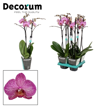 Phalaenopsis 2-Tak Flirtation 60cm R2-3