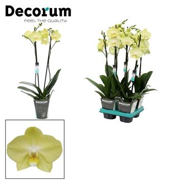 Phalaenopsis 2-Tak Minion 60cm