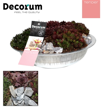 Sempervivum in Schaal Decorum TENDER