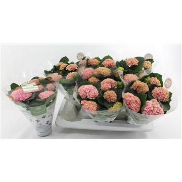 Magical Revolution 12cm Roze 5-6 bloemen