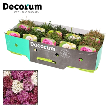 Armeria Mix Decorum P11