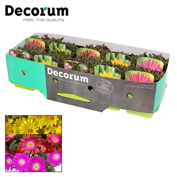 Delosperma Mix Decorum P11