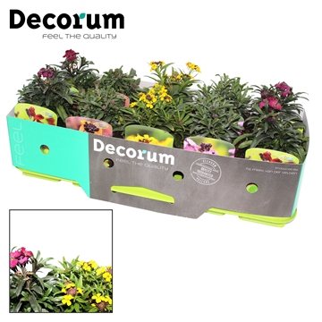 Erysimum Mix  Decorum P11