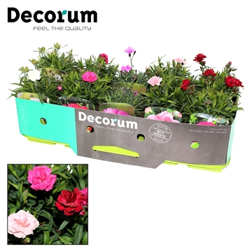 Dianthus Mix  Decorum P11