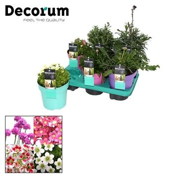 Bloeiende Vaste Planten Decorum P21