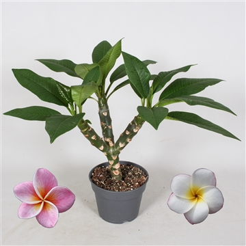 Closed flowers Plumeria MIX Antraciet (WHITE/PINK)