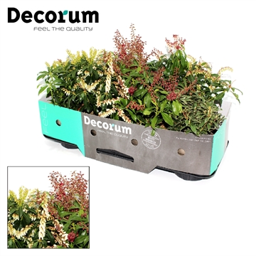 Pieris mix Decorum P13