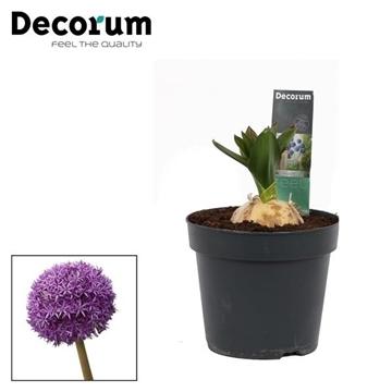 Allium Globemaster (Decorum)