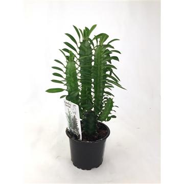 """Euphorbia Trigona """"Midi"""" - Green 9 cm"""