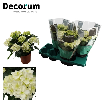Hydrangea Double Dutch white 7/8 bloem