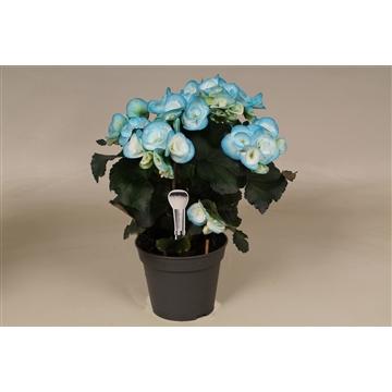 Begonia ''make-upz'' blauw !