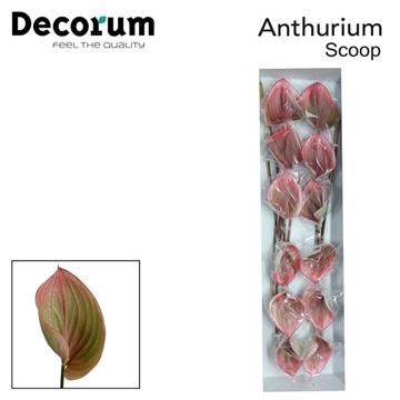 ANTH SCOOP Decorum
