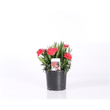 Dianthus P10,5 ROOD  (ook verkrijgbaar wit /roze)