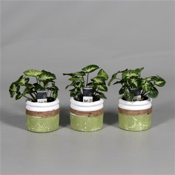 Syngonium Pixie 7 cm in pot Joy groen (Decorum)