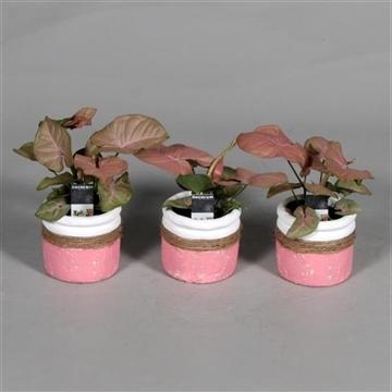 Syngonium Neon Robusta 7 cm in pot Joy roze (Decorum)