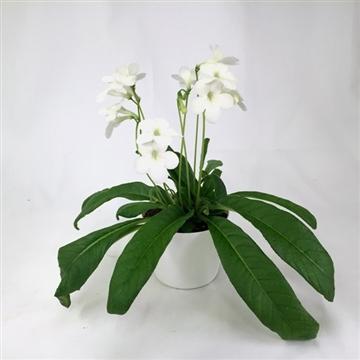 """Streptocarpus """"Gerd"""" 12 cm"""
