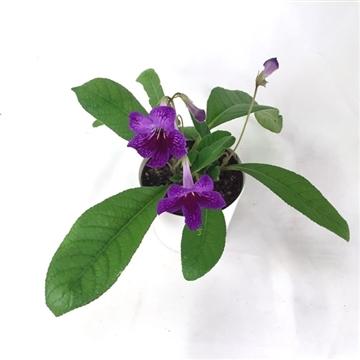 """Streptocarpus """"Benja"""" 12 cm"""