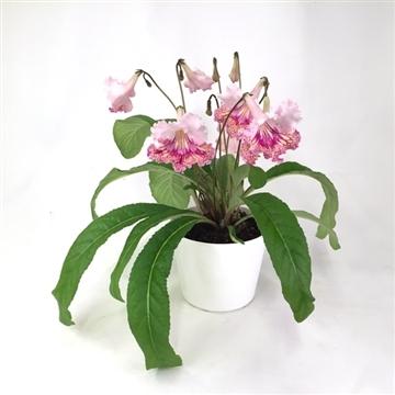 "Streptocarpus ""Fiesta Baby"" 12 cm"
