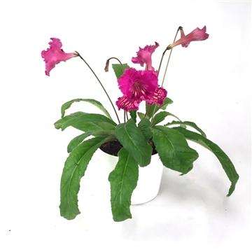 "Streptocarpus ""Fiesta"" 12 cm"