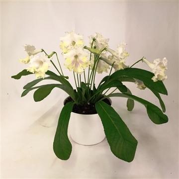"""Streptocarpus """"Malthe"""" 12 cm"""
