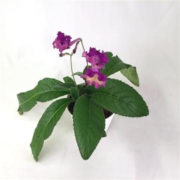 """Streptocarpus """"Silvia"""" 12 cm"""