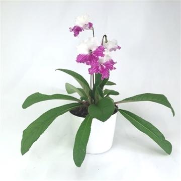 """Streptocarpus """"Frenci"""" 12 cm"""