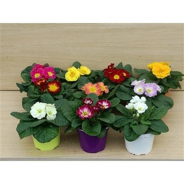 diverse voorjaars bloeiers ton sur ton viola, ranunculus en primula