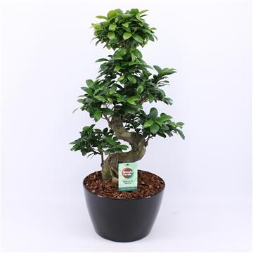 Ficus Ginseng S type in Zwart keramiek met Bark
