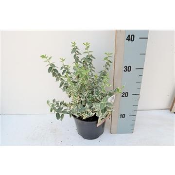 Euonymus fort. variegatus
