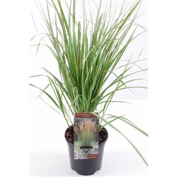 Calamagrostis acut. overdam