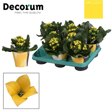 Kalanchoë enkelbloemig - 10,5 cm - Coto (yellow) met YELLOW potcover - Decorum