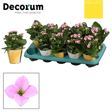 Kalanchoë enkelbloemig - 10,5 cm - Morne (pink) met YELLOW potcover - Decorum